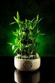 Bamboo plant — Stock Photo