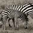 Zebra and Foal Grazing — Stock Photo