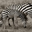 Zebra and Foal Grazing — 图库照片