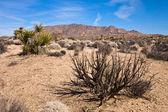 砂漠の植生 — ストック写真