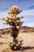 Large Teddy Bear Cholla Cactus — Stock Photo