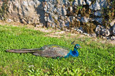 Peacock Resting — Stock Photo