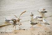 Flock of seagulls — Stockfoto
