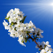 Stock Photo: Spring flowers tree in sun light