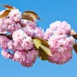 Japanese cherry-tree blossom - 图库照片