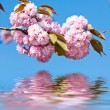 Japanese cherry-tree blossom — Stock Photo