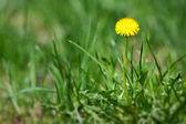 Maskros i gräs — Stockfoto