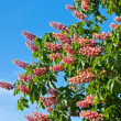 Horse chestnut tree — Stock Photo