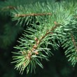 Spruce twig - Stock Photo