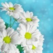 Daisies flowers on blue background — Foto de Stock
