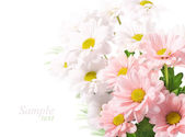 Daisies flowers on white background — Stock Photo