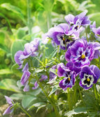 Bouquet of purple pansies — Stock Photo