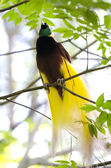 Lesser Bird of Paradise or Paradisaea minor. — Stock Photo