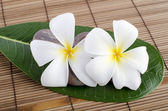 White frangipani and therapy — Stock Photo