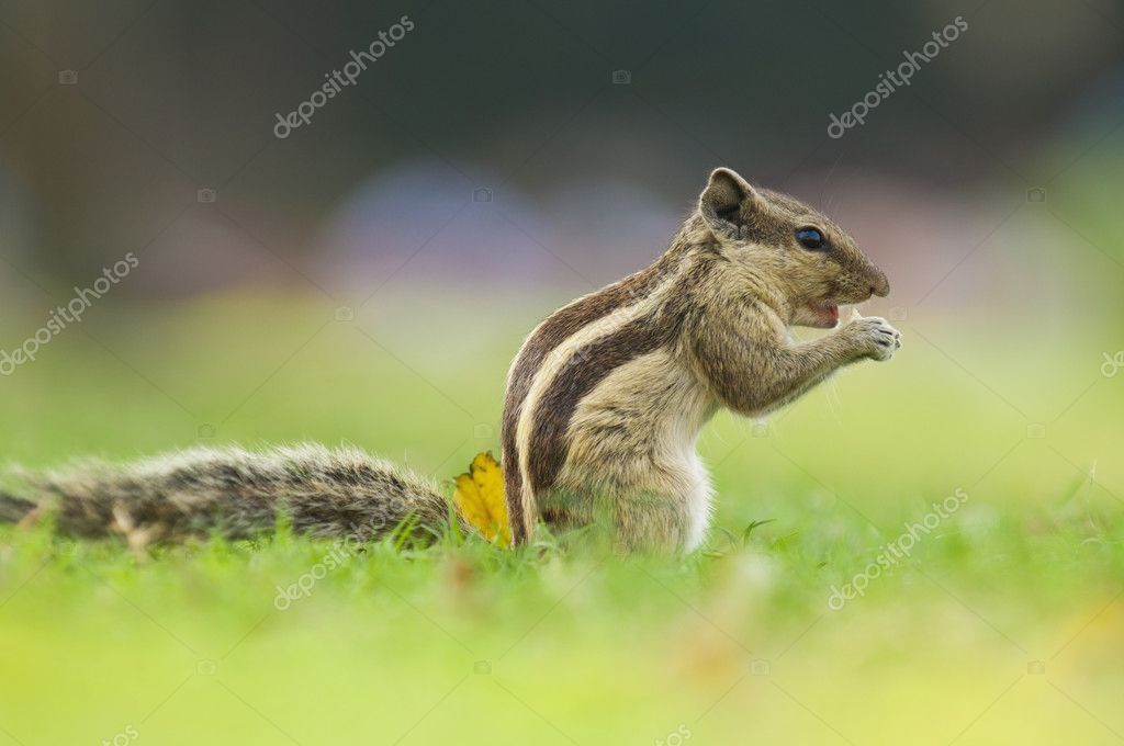 Common indian squirrel with natural green background  — Stock Photo #6090190