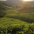 Misty morning in tea farm at Cameron Highland Malaysia — Stock Photo
