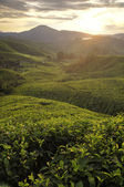 Misty morning in tea farm at Cameron Highland Malaysia — Stock Photo