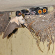 Swallows — Stock Photo