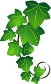 Ivy twig — Stock Vector