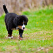 Stok fotoğraf: Bernese Mountain Dog