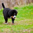 Bernese Mountain Dog — Stock Photo #5804546