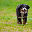 Foto de Stock  : Bernese Mountain Dog