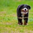 Bernese Mountain Dog — Stockfoto #5830425