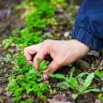 Woman hand weeding through parsley — Stock Photo #5473332