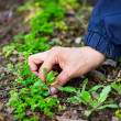 Stock Photo: Womhand weeding through parsley