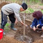 Senior farmer and daughter planting trees — Stock Photo
