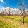 Orchard with apple trees in the spring — Stock Photo