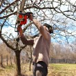 Old farmer trimming apple trees — Stock Photo