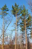 Tall pine trees — Stock Photo
