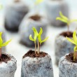 Tomato seedling in peat balls - Stock Photo