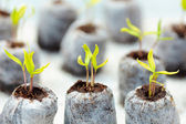 Tomato seedling in peat balls — Stock Photo