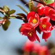 Stock Photo: Japanese flowering quince