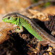 Macro of a lizard outdoor — Stock Photo
