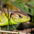 Macro of a lizard outdoor — Stock Photo #5591387
