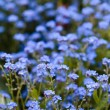 Stock Photo: Forget-me-not flowers in garden