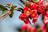 Japanese flowering quince — Stock Photo