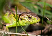 Macro of a lizard outdoor — Stock Photo