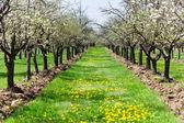 Orchard of plum trees — Stock Photo