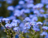 Forget-me-not flowers in a garden — Stock Photo