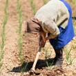 Old rural woman weeding through onion field - Stock Photo