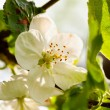 Apple tree in blossom - Stock Photo