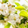 Apple tree in blossom — Stock Photo