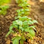 Row of potatoes in a garden — Stock Photo #5702872