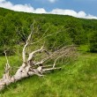 Stock Photo: Fallen tree on a meadow