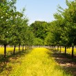 Plum trees in an orchard — Stock Photo