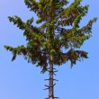 Pine tree with stripped branches - Stock Photo
